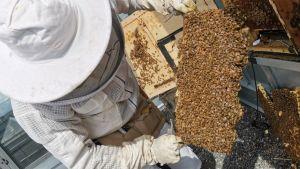 Mehiläistenhoitaja Teemu Aittamaa pitää kennoa käsissään
