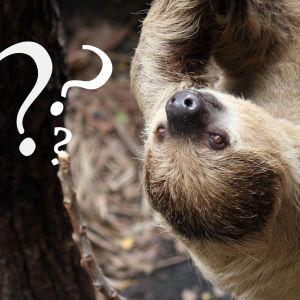 En sengångare hänger upp och ner från en gren. Frågetecken inklistrade på bilden.