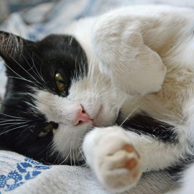 Kissa makaa sängyllä ja katsoo kameraan