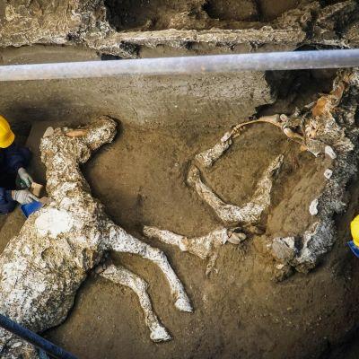 Arkeologit kaivavat hevosten jäännöksiä muinaisen Pompeijin kaupungissa.