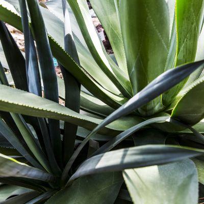 Aloe vera -kasvi.
