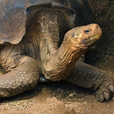 Galapagoksenjättiläiskilpikonna