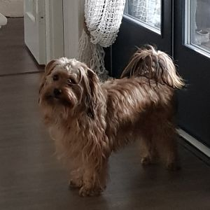 Liten brunspräcklig hund står framför en ingång inne i ett hus.
