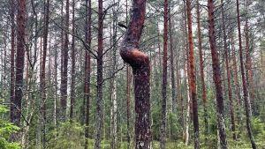 Kiemurainen mänty metsässä.