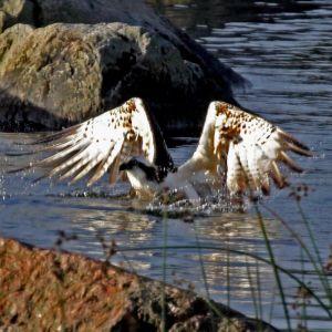 En fiskgjuse försöker lyfta från vattnet
