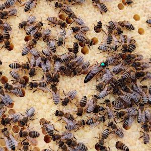 Mehiläisiä kävelemässä kennoston päällä.