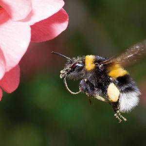 Kimalaiset ovat kiltimpiä kuin ampiaiset, ja pyöreämpiä, pörröisempiä sekä rauhallisempia kuin mehiläiset.