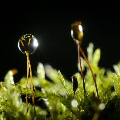 Kuvassa on vesipisara ja kasvi.