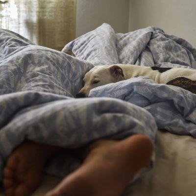 Mies nukkuu sängyssä koiran pitäessä seuraa Helsingissä 29. maaliskuuta 2019.