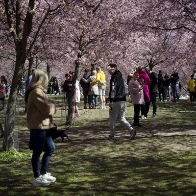 Kirsikkapuut kukkivat Roihuvuoressa.