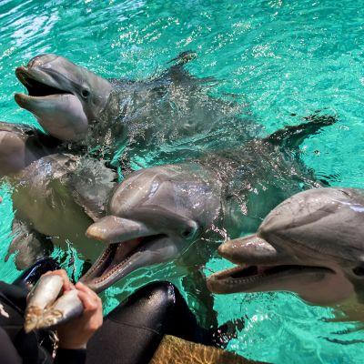 Delfiinejä Särkänniemen delfinaariossa