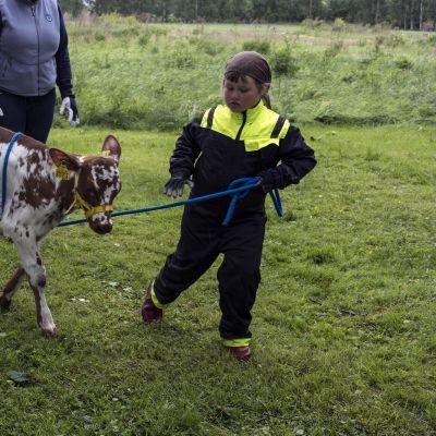 Susanna Lakso, 6,  opettaa vasikkaa kulkemaan riimussa vierellä.