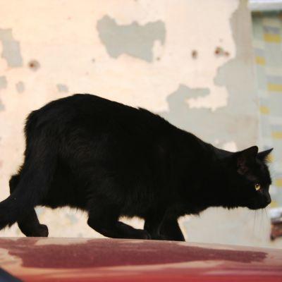 Musta kissa auton konepellillä