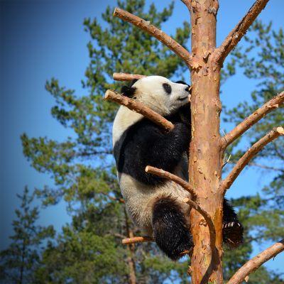 Pyry-panda kiipeilee uudessa puussaan Ähtärin eläinpuistossa.
