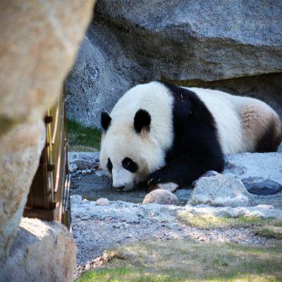 Lumi-panda alkamassa päiväunille Ähtärin eläinpuistossa.