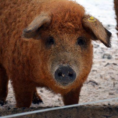 Villasikaa eli mangalitzarotuista sikaa kasvattaa ammattimaisesti Suomessa vain harva.