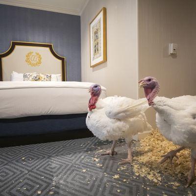 """Kiitospäivän kalkkunat """"Bread"""" ja """"Butter"""" rentoutuvat Willard InterContinental -hotellissa Washingtonissa 25.marraskuuta. Yhdysvaltain presidentti Donald Trump armahti kalkkunat ja näinollen välttivät syödyksi tulemiselta. Valkoiseen taloon on lähetetty kalkkunoita ainakin 1870-luvulta lähtien.  Bread ja Butter esiteltiin hotellissa tiedotusvälineille ennen armahdusseremoniaa."""
