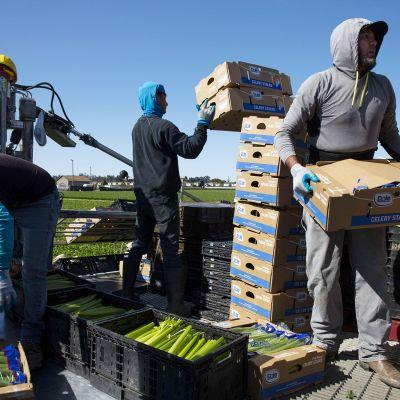 Työntekijät nostelevat laatikoita maatilalla.