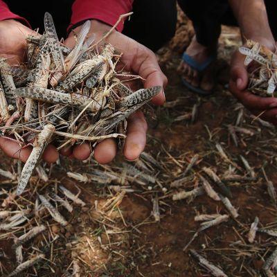 Kuvassa intialainen maanviljelijä esittelee kameralle lukuisia kulkusirkkoja.