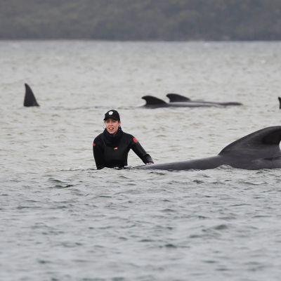Kuvassa ihmiset yrittävät pelastaa rantautuneita valaita Tasmaniassa.