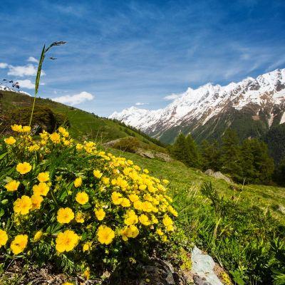 Kuvassa on kasveja ja taustalla näkyvät Alpit.