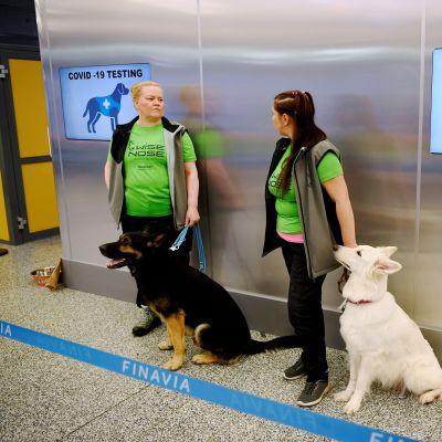 Koronaviruksen haistavat koronakoirat Valo (vas.) ja Heli Niuro ja E.T. ja Anette Kare näytteenantopisteellä Helsinki-Vantaan lentoasemalla 22. syyskuuta 2020.