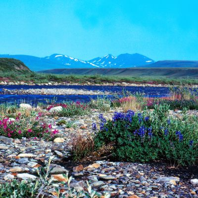 Kukkia luonnonsuojelualueella Alaskassa.