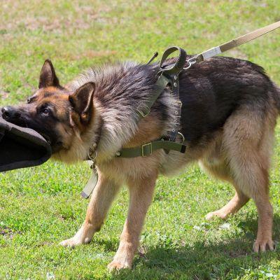 Koiran koulutusta.