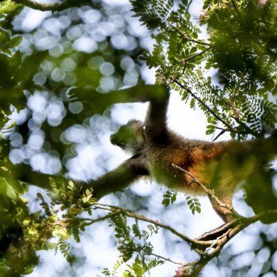 Hämähäkkiapina Palo Verden kansallispuistossa Costa Ricassa.
