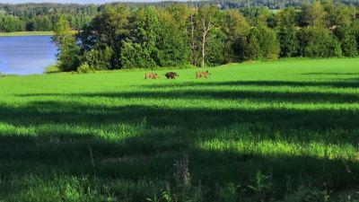 Tre vildsvin, två bruna och ett mörkt, springer på en grön åker i Tenala. I bakgrunden syns vatten.