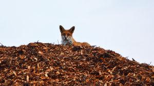 En räv ligger ovanpå en hög med träflis. Den tittar ner mot kameran.
