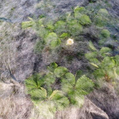 Mansikkaviljelmä suojaharson alla.