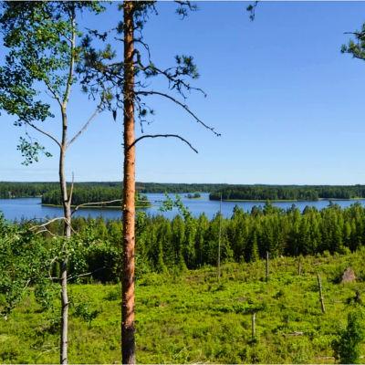 Ett avverkat skogsområde vid en strand, grönt på marken, enstaka träd, vid stranden skog, en sjö med öar.