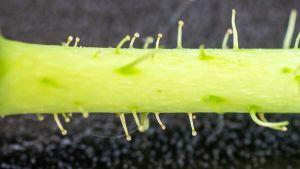 Kurtturuusun kukkaperän nystykarvat lähikuvassa.