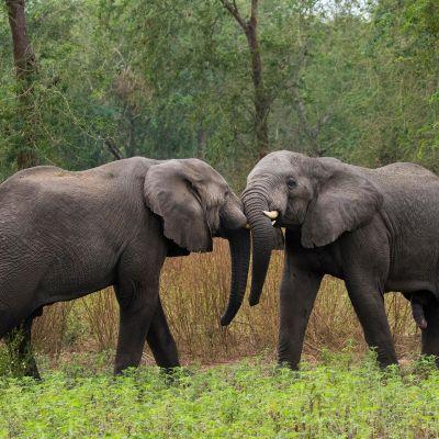 Elefantteja Gorongosan kansallispuistossa Mosambikissa.