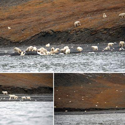Kuvakombo Wrangelinsaaren luonnonpuiston verkkosivuillaan julkaisemista kuvista.