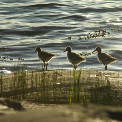 Tre stycken strandskataungar