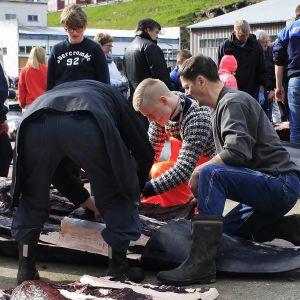 Tór Marni Weihe irrottaa lihaa saalistetusta pallopäävalaasta vuonna 2015.