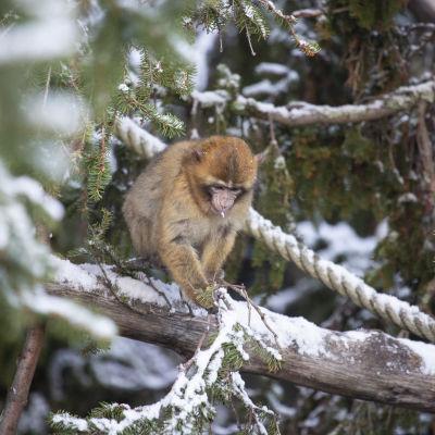 En ettårig berberapa sitter på en snöklädd grankvist.