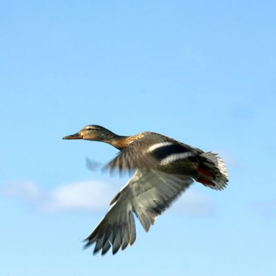 En brun gräsand flyger.