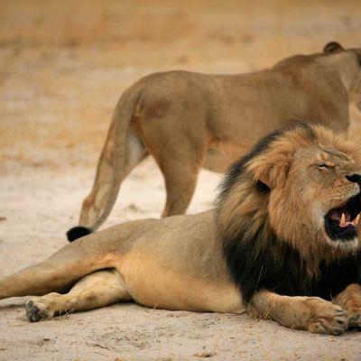 Yhdysvaltalaisen metsästäjän uskotaan ampuneen 13-vuotiaan zimbabwelaisen Cecil-leijonan laittomasti.