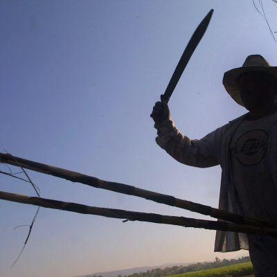 En arbetare håller upp en machete på en sockerplantage i Mexiko. Bilden är tagen i motljus.