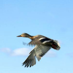 Gräsandshane flyger