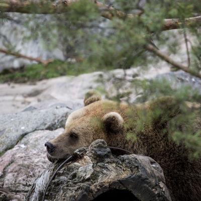 Björn som vill gå i ide snart