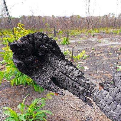 Amazonin sademetsä, hiiltynyt puu