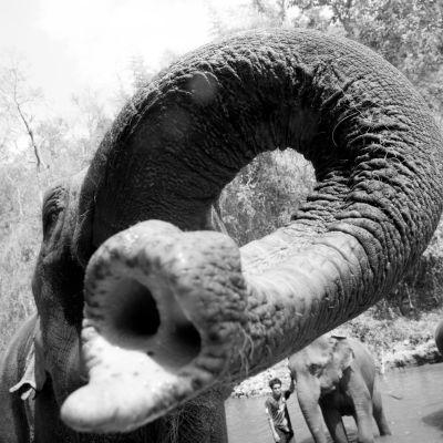 Elefantin kärsä.