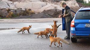 En äldre man står utanför en blå personbil och matar rävar. Fem rävar är samlade kring honom. En av dem står på bakbenen, redo att ta emot en korvbit.