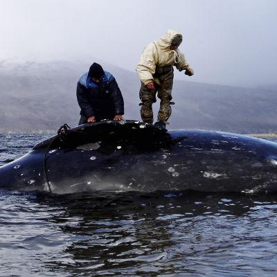 Dokumenttielokuva Olimme valaanpyytäjiä on kuvaus perinteen ja nykyajan välisestä harmaasta vyöhykkeestä.