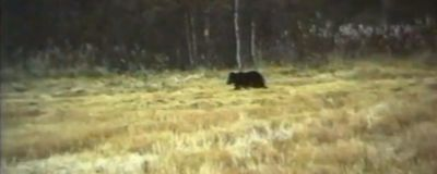 Karhu pellolla.