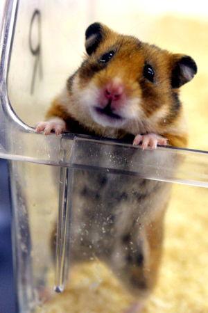 En hamster som står på bakbenen och tittar upp ur en genomskinlig plastlåda.